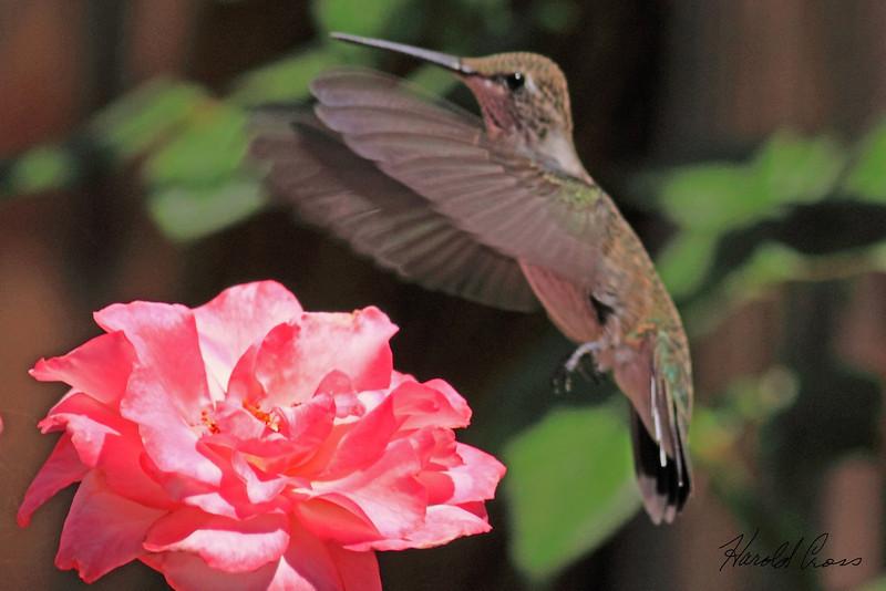 A Black-chinned Hummingbird taken Aug 13, 2010 in Fruita, CO.