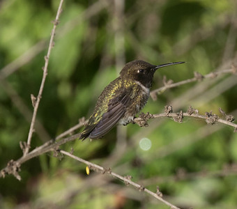 Black-chinned Hummingbird Sorento Valley 2019 04 13-4.CR2