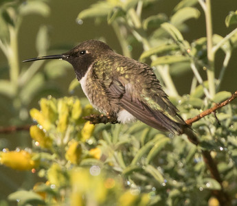 Black-chinned Hummingbird Penesquitos Canyon 2019 04 06-1.CR2