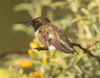 Black-chinned Hummingbird Penesquitos Canyon 2019 04 06-5.CR2