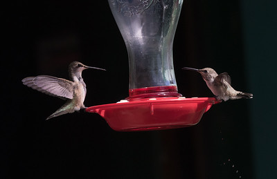 Rufous Hummingbird  Black Chinned Hummingbird Crowley Lake 2020 07 26-3.CR2
