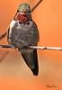 A Black-chinned Hummingbird taken Feb 15, 2010 in Tuscon, AZ.
