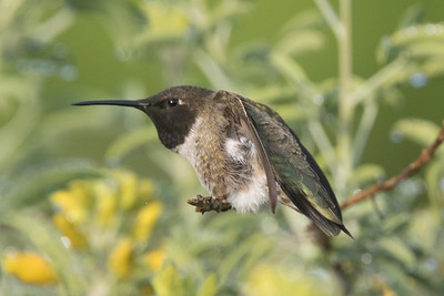 Black-chinned Hummingbird Penesquitos Canyon 2019 04 06-7.CR2