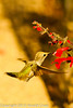 Hummingbirds : 9 galleries with 125 photos
