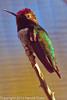 A Black-chinned Hummingbird taken Feb. 9, 2012 in Tucson, AZ.