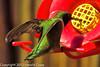 A Black-chinned Hummingbird taken June 6, 2012 in Fruita, CO.