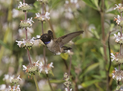 Black-chinned Hummingbird Sorento Valley 2019 04 13-3.CR2