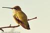 A Black-chinned Hummingbird taken Sep. 15, 2011 near Fruita, CO.