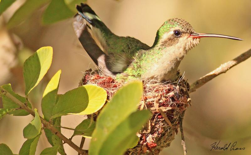 A Broad-billed Hummingbird taken Feb 7, 2010 in Tuscon, AZ.