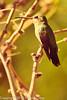 A Broad-billed Hummingbird taken Feb. 9, 2012 in Tucson, AZ.