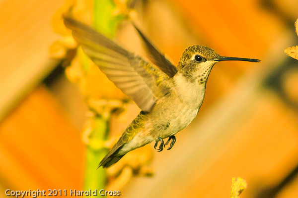 A  Broad-tailed Hummingbird taken Aug. 30, 2011 in Fruita, CO.