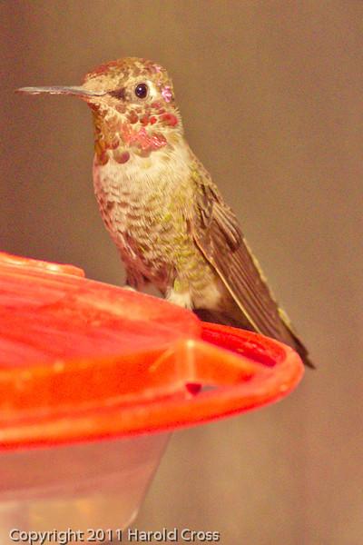 A Broad-tailed Hummingbird taken Nov. 3, 2011 near Tucson, AZ.
