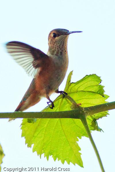 A Broad-tailed Hummingbird taken Sep. 1, 2011 in Fruita, CO.