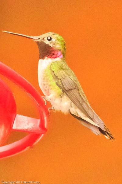 A Broad-tailed Hummingbird taken July 22, 2011 near Durango, CO..