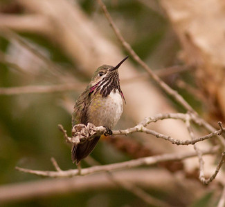 Caliope Hummingbird  Nazarene College Point Loma 2014 04 19-3.CR2