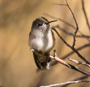 Calliope Hummingbird Mammoth Lakes 2016 07 22-1.CR2