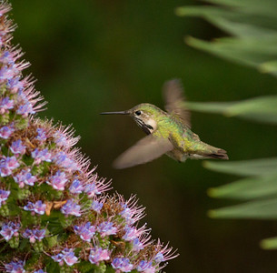 Caliope Hummingbird  Nazarene College Point Loma 2014 04 19-6.CR2