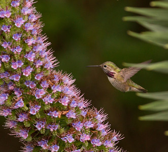 Caliope Hummingbird  Nazarene College Point Loma 2014 04 19-7.CR2