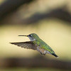 Calliope Hummingbird  Ash Canyon Arizona 2011 08 20-2.CR2