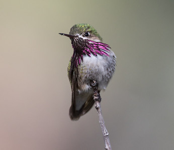 Calliope Hummingbird Mammoth Lakes 2020 05 22-3.CR2