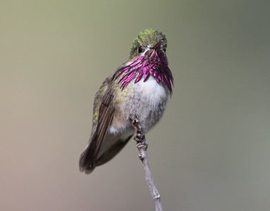 Calliope Hummingbird Mammoth Lakes 2020 05 22-7.CR2