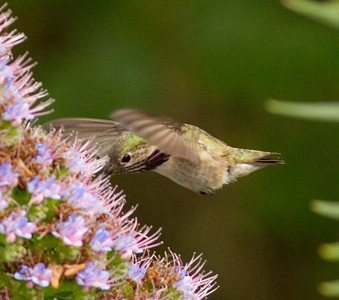 Caliope Hummingbird  Nazarene College Point Loma 2014 04 19-5.CR2
