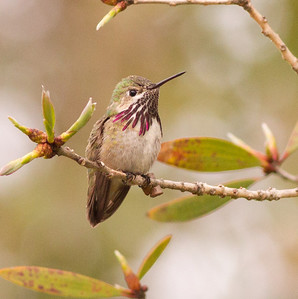 Caliope Hummingbird  Nazarene College Point Loma 2014 04 19-1.CR2