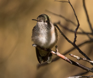 Calliope Hummingbird Mammoth Lakes 2016 07 22-2.CR2