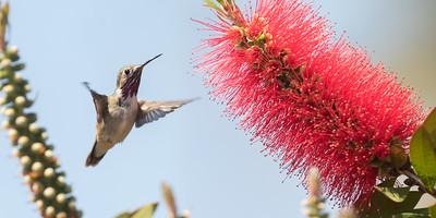 Callioee Hummingbird Leucadia 2020 06 16-1.CR2
