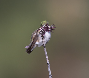 Calliope Hummingbird Mammoth Lakes 2020 05 22-1.CR2