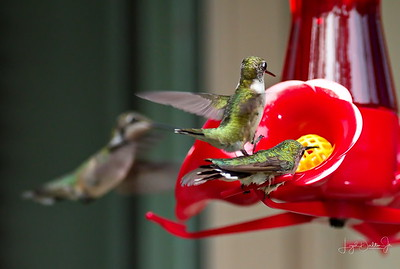 D500_Backyard_Hummingbird_Fighting_9-13-17_7778-1