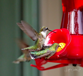 D500_Backyard_Hummingbird_Fighting_9-13-17_7781-1