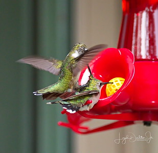 D500_Backyard_Hummingbird_Fighting_9-13-17_7812-1