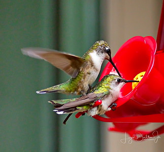D500_Backyard_Hummingbird_Fighting_9-13-17_7821-1
