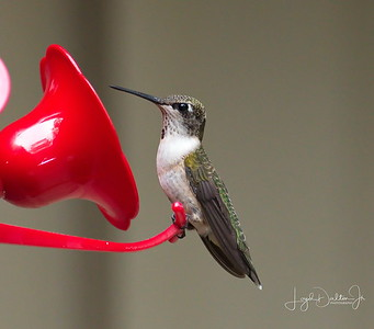 D500_Backyard_Hummingbird_Sitting_9-13-17_7619-1