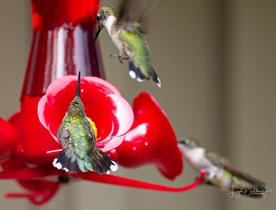 D500_Backyard_Hummingbird_Fighting_9-13-17_7808-1