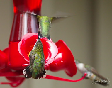 D500_Backyard_Hummingbird_Fighting_9-13-17_7807-1