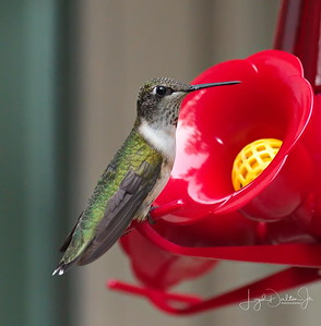 D500_Backyard_Hummingbird_Sitting_9-13-17_7654-1