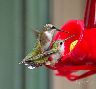 D500_Backyard_Hummingbird_Fighting_9-13-17_7815-1