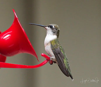 D500_Backyard_Hummingbird_Sitting_9-13-17_7611-1