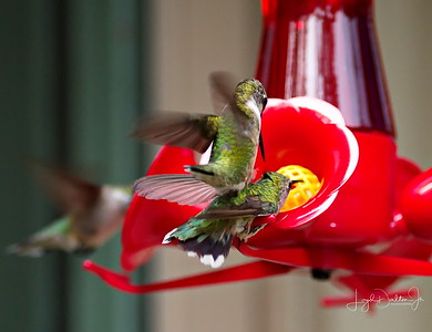D500_Backyard_Hummingbird_Fighting_9-13-17_7776-1