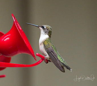 D500_Backyard_Hummingbird_Sitting_9-13-17_7614-1