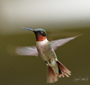 D500_Backyard_Hummingbird_Flying_9-13-17_7691-1