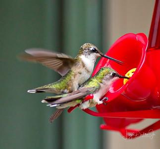 D500_Backyard_Hummingbird_Fighting_9-13-17_7818-1