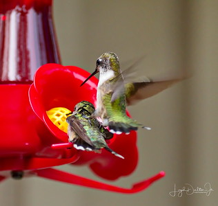 D500_Backyard_Hummingbird_Fighting_9-13-17_7801-1