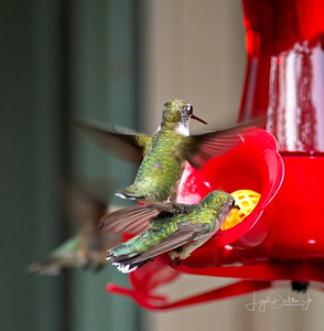 D500_Backyard_Hummingbird_Fighting_9-13-17_7780-1