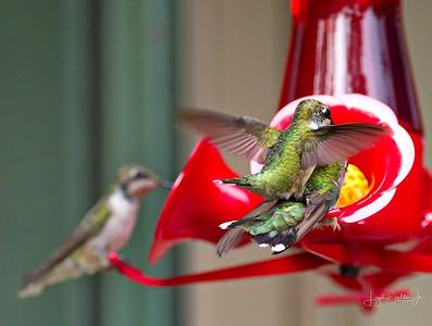 D500_Backyard_Hummingbird_Fighting_9-13-17_7786-1