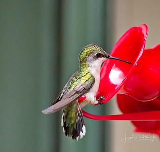 D500_Backyard_Hummingbird_Sitting_9-13-17_7796-1