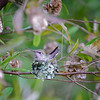 """The nest is 2-1/4"""" in diameter.  About as long as a toothpick."""
