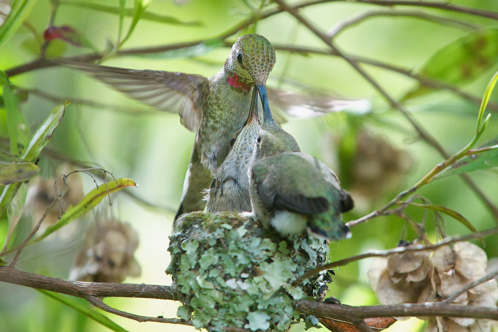 After about the 18th day, Mama couldn't actually stand on the nest to feed them because the chicks were so big.  So she'd either stand on one of the chicks or she's feed them while hovering.<br /> <br /> Anna's Hummingbirds, Copyright 2010 Gary Yost